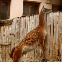 "Лама."" Как там дела у соседей?"" :: Nata"