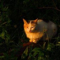 Кошка, освещенная вечерним солнцем :: Андрей Лукьянов