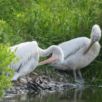 Чистят перья пеликаны :: Natalia Harries