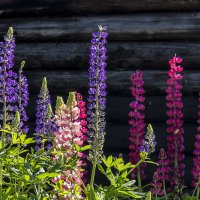 Цветы у дома :: Нина Кутина