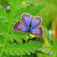 Бабочка, голубянка :: Константин Анисимов