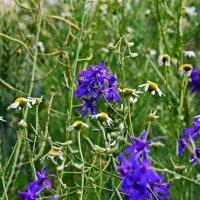 Полевые цветы :: Liudmila LLF
