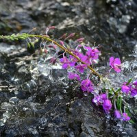 Флора в бурном потоке :: Сергей Шаврин