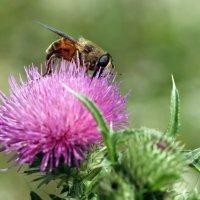 Цветочная муха ( Volucella zonaria) :: Олег Шендерюк