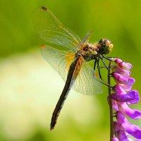 хищник на цветке :: Александр Прокудин