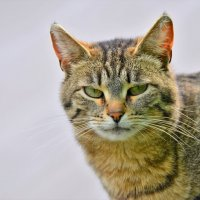 Кошка :: Константин Анисимов