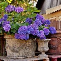 Гортензии в  чужом  саду :: backareva.irina Бакарева