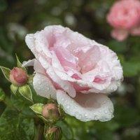после дождя :: Лариса Батурова