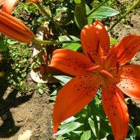 Лилия в саду! :: ирина