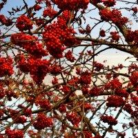 На рябинке осенью - красочный наряд! :: Антоха Л