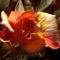Роза утомленная солнцем. :: Nata