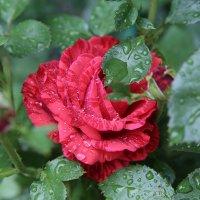 Чайно-гибридная роза_ Red Intuition :: Татьяна Калинкина