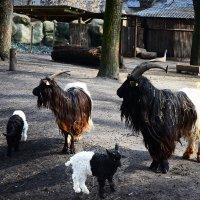 Дружная семейка коз валлийской породы... :: Тамара Бедай