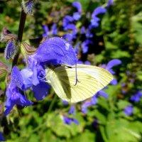 Белая бабочка на синем цветочке :: Татьяна Лобанова