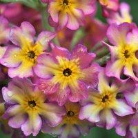 Просто цветы... :: Елена Савчук