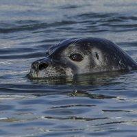 любопытный тюлень :: Георгий А