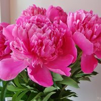 Для друзей запах пионов :: Лидия (naum.lidiya)
