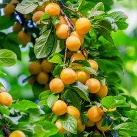 Золотые плоды лета :: Galina Sajnikova