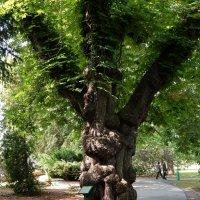 Старое дерево :: Елена Гуляева (mashagulena)