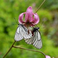 Белянки на лилии :: Nina Streapan