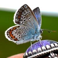Голубянка на кольце :: Nina Streapan