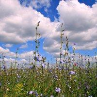 Полевые цветы... полевые... васильки и ромашки в лугах... :: Евгений Юрков