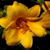 Лилейник ярко желтый. :: Nata