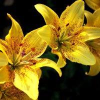 Желтые лилии :: Нэля Лысенко