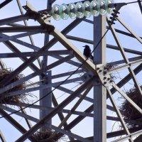 Гнездовья грачей на высоковольтном :: Александр Бойченко
