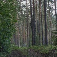 Сосновый лес :: Яков Реймер
