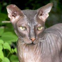 Кошка сфинкс :: Лидия Суюрова