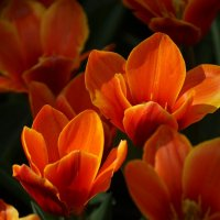 Keukenhof tulips 1 :: Wirkki Millson