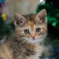 ЛАСКА, Центр помощи кошкам на Сахалине https://vk.com/laskasakhalin.  Лилу :: Margarita Ласковая
