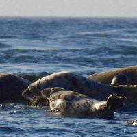 Семья тюленей :: Natalia Harries