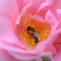 В розовой купели... :: Тамара Бедай