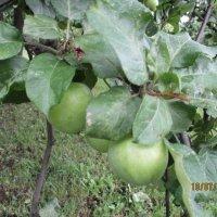 Яблоки.. :: Зинаида