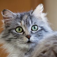ЛАСКА, Центр помощи кошкам на Сахалине https://vk.com/laskasakhalin. Сильвия :: Margarita Ласковая
