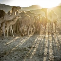 Верблюжий закат. Иудейская пустыня. :: Tatyana Belova