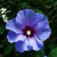 Удивительно красивый голубой цветок...гибискус! :: Galina Dzubina