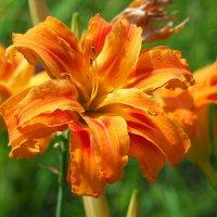 Лилейники цветут :: Swetlana V