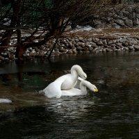Лебединая любовь... :: Евгений Яхим