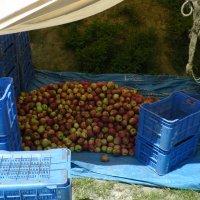 Яблочки в Наггаре :: Evgeni Pa