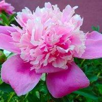Розовый пион :: Татьяна Котельникова