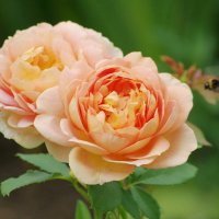 Просто роза.. :: * vivat.b *