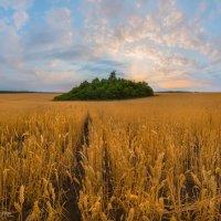 Лесной остров на поле пшеницы :: Фёдор. Лашков