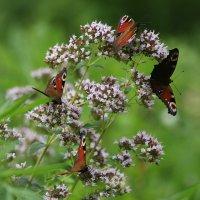 Бабочки :: Lusi Almaz