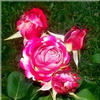 Розы. :: Чария Зоя