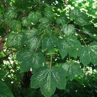 Просто красивые листья :: Маргарита Батырева