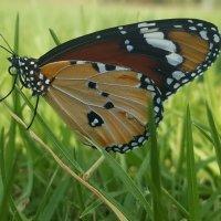Бабочка :: Дима