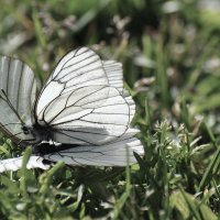 бабочка на бабочке :: Антонина Мустонен